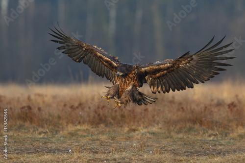 Poster Aigle White tailed eagle