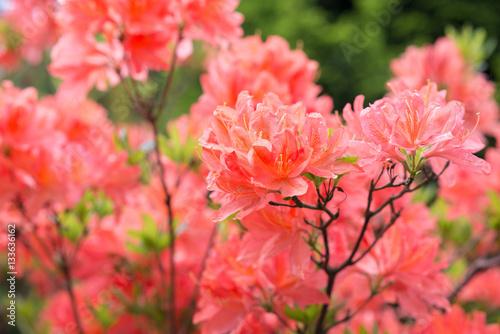 Tuinposter Azalea Flower Pink Rhododendron