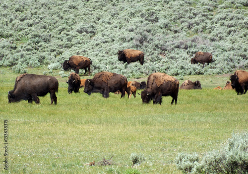 Aluminium Prints Herd of Bisons in Lamar Valley, Yellowstone National Park (USA)