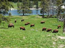 Herd Of Bisons In Lamar Valley...