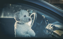 Sad Dog Left In Car.Cute Toy Poodle Waiting For The Owner At Car Window