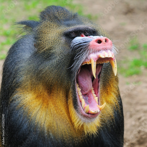 Tela Portrait of the yawning adult male mandrill, The Netherlands