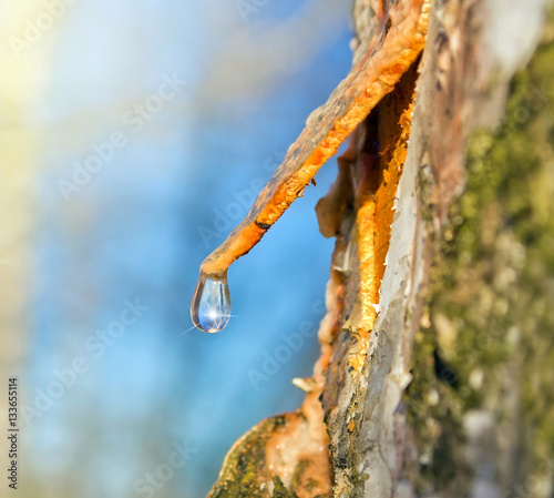 A drop of birch sap