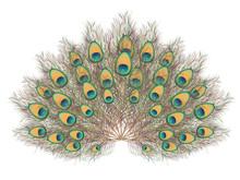 Peacock Tail Illustration