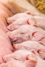 Newborn Farrows Eating Sow's M...