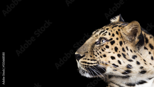 Poster Leopard portrait of a leopard isolated on a black background