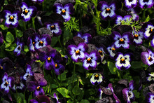 Colorful Purple Pansy Flowers With Dew Drop. Nature Background.