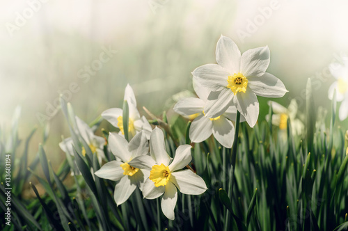 Papiers peints Narcisse White and yellow daffodil flower outdoors in spring