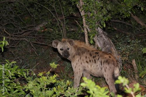 Poster Hyène hyena by night
