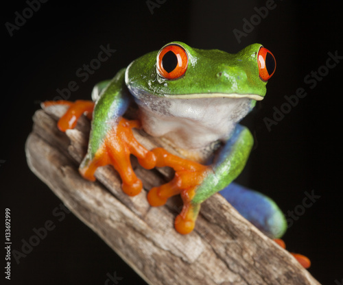 Tuinposter Kikker red eye frog