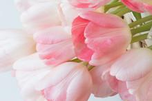 Fresh Pink Tulips.