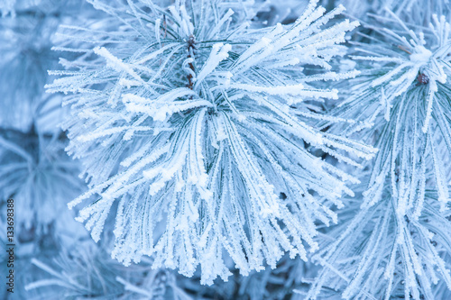 Foto op Canvas Paardebloemen en water Pine branches covered with hoarfrost