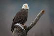 Bald Eagle Staredown