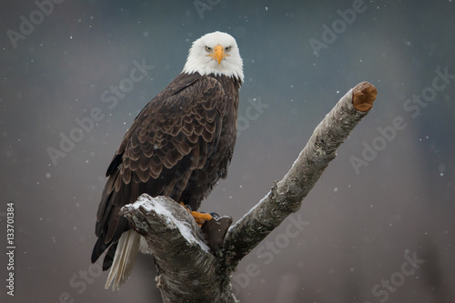 Photo sur Aluminium Aigle Bald Eagle Staredown