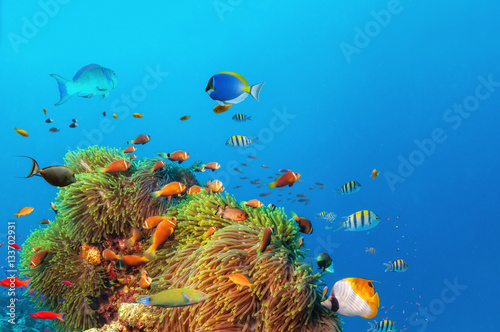 Fotografie, Obraz  Beautiful anemones with colored fish around