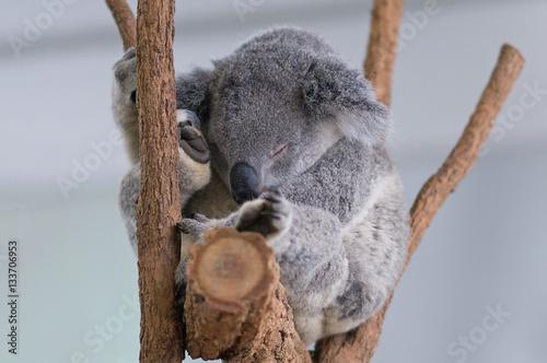 Poster Koala Koala Sleeps!