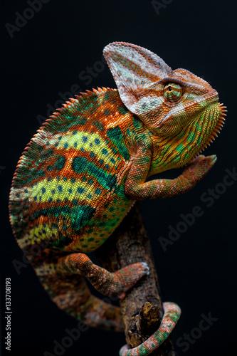 Poster Kameleon A brightly patterned Yemen chameleon.