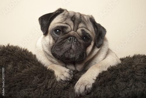 Valokuva  cute pug puppy dog lying down on fuzzy pillow