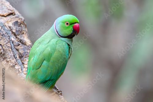 Tuinposter Papegaai Rose-ringed parakeet (Psittacula krameri) male parrot
