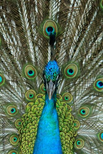 Foto op Canvas Pauw Portrait of peacock