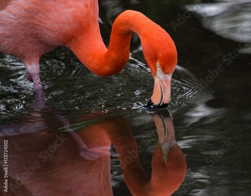 In de dag Buenos Aires An American flamingo drinking water in Temaiken Zoo, Buenos Aires, Argentina.