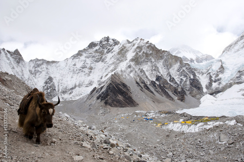 Wall mural - Yak in Everest Base Camp - Nepal
