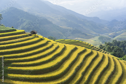 Fotobehang Rijstvelden Asian rice field in harvesting season in Mu Cang Chai, Yen Bai, Vietnam. Terraced paddy fields are used widely in rice, wheat and barley farming in east, south, and southeast Asia