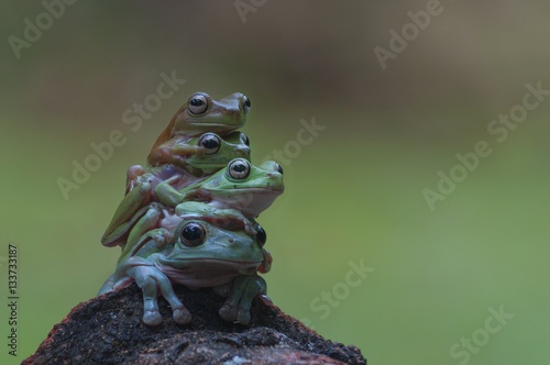 Montage in der Fensternische Frosch macro closeup of four green forest tree frog lay piled up while sitting on a wood