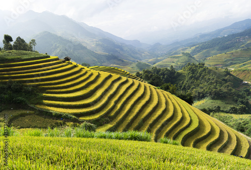 Fotobehang Rijstvelden Asia rice field by harvesting season in Mu Cang Chai district, Yen Bai, Vietnam. Terraced paddy fields are used widely in rice, wheat and barley farming in east, south, and southeast Asia