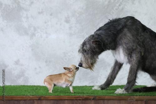 Fotografie, Obraz  Chiuaua che incontra levriero irlandese