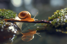 Macro Closeup Of A Snail Crawling On A Wood Bridge With Reflection. Image
