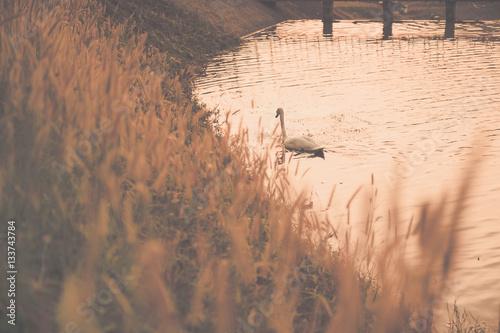 Fotografie, Obraz  White swan floating on the lake