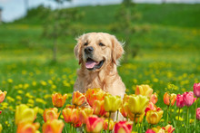 Golden Retriever And Flowers
