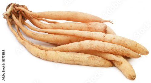 Stampa su Tela  Asparagus racemosus or medicinal Shatavari