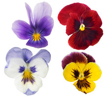 Four Pansy Blooms Collection Isolated On White