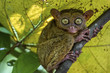 Philippine tarsier, Carlito syrichta, on tree branch