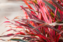 Cordyline Leaves Background