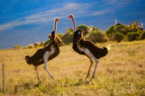 Aluminium Prints Ostrich fighting ostriches
