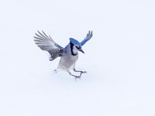 Blue Jay Landing On Snow In Wi...
