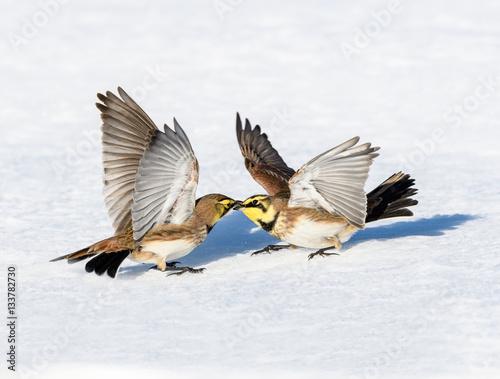 Fototapeta Horned Larks Fighting in Winter