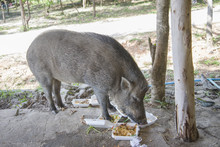 Young Wild Boar Eating Human Food.