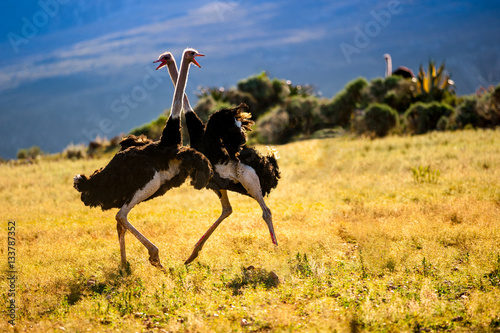 Photo Stands Ostrich Dancing ostriches