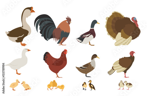 Poultry farming. Chicken, turkey, duck, goose family isolated on Canvas Print