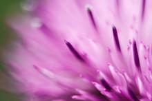 Closeup Of A Milk Thistle Flower
