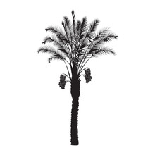 Silhouette Of A Date Palm Tree With Fruits