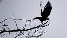 Black Crow Taking Off Silhouette Black And White