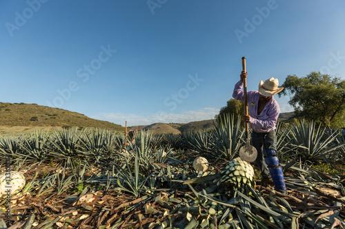 Fotografiet  Campesino cortando agave con un hacha