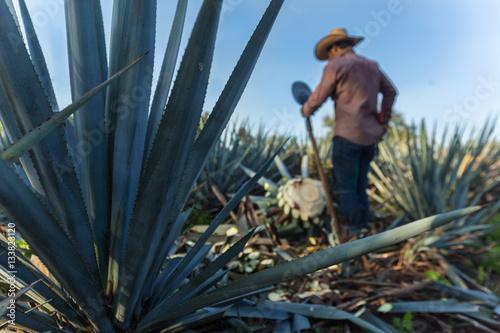 Fotografie, Obraz  Contrapicada de campesino cortando agave