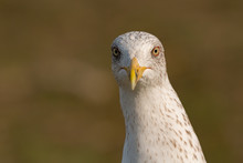 Portrait Of A Seagull With Yellow Peak