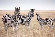 Zebras Migration In Makgadikga...
